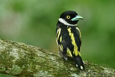 Black-and-Yellow Broadbill It is found in Brunei, Indonesia, Malaysia, Myanmar, Singapore, and Thailand.