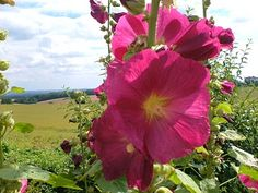 """6K. Previous pinner: """"Hollyhocks have a long history! Pollen from hollyhock flowers was found at Shanidar cave, a Neanderthal burial site dating back to 50,000 BC."""""""