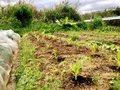 Birds are Congratulating Us on the Beautiful Sweet White Corn Planting! Corn Plant, Okinawa, Farmers, Harvest, Veggies, Birds, Organic, Seasons, Yellow