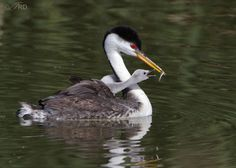 Baby Clark's Grebes feeding - from Ron Dudley! This adult is an intermediate between Western and Clark's.