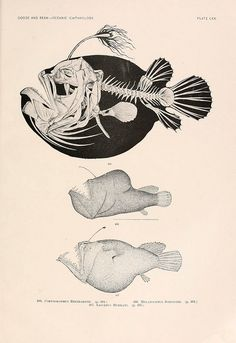 scientificillustration:    n298_w1150 by BioDivLibrary on Flickr.  405. Corynolophus reinhardtii 406. Melanocetus johnsonii (Humpback anglerfish)  407. Liocetus murrayi (Murray's abyssal anglerfish)  Oceanic ichthyology. v.22 atlas.Cambridge, U.S.A. :Printed for the Museum,1896.biodiversitylibrary.org/item/25480