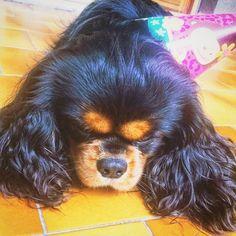 Thank you so much dear friends for good wishes i dedicate this photo to you!!! I'm tired but happy!!!!! #happyday #fluffydog #featuremycavalier #pawsome #pawpack #lovedog #dogofinstagram #cavalierofinstagram #cavalierlovers #sendadogphoto #lacyandpaws #dailydogs #dogfamily #birthdayday #mydogisbest #dogadventurist #cavaholic #cavalife #yourpetid #cavitude #cavalierofinstagram #blackandtancavalier #dogofficialdog #ckcs #ckcsclub #ckcspics #cavpuppy #lovecavaliers #cutecavalier…