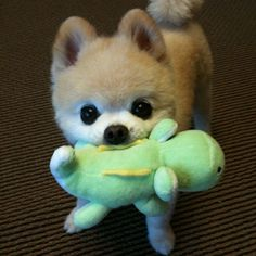 And Now, Ridiculously Adorable Pomeranian Puppies!