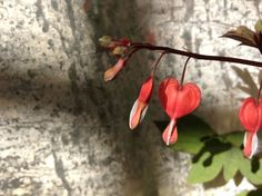 A bleeding heart from the Green Thumb Nursery in Los Gatos California. #hearts #flowers #spring