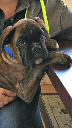 Popular Brindle Boxer Bow Adorable Dog - 5a0da06fe49a8a3ebd306653b3e3b028  Gallery_949752  .jpg