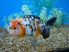 My Calico Ranchu Goldfish