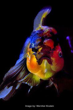 Oranda Goldfish by MeYou Vern, via Flickr