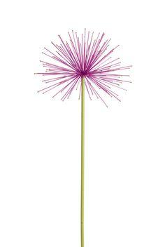 Everlasting Alliums   Buy/plant in fall from Gardener's Supply