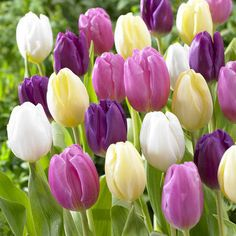 Shop through our large range of Tulip Bulbs alphabetically for ease of finding something of interest. Search A-Z Tulip Bulbs. White Tulips, Tulips Flowers, Bulb Flowers, Spring Flowers, White Flowers, Beautiful Flowers, Garden Bulbs, Planting Bulbs, Planting Flowers