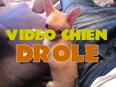 Betisier animaux, Vidéo Chien drole, Chiwawa drole, funny dog video
