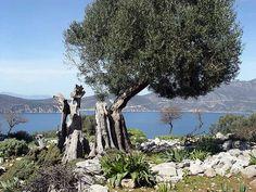 https://flic.kr/p/5Y7Sj3 |  Ιόνια Νησιά - Λευκάδα - Απόλπαινα, Καστός H ελιά του Καστού, Λευκάδα