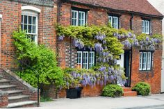 Wisteria on brick house