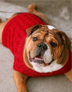 WorldofBulldog This is Axle, He's a one year old &... english bulldog puppy dogs clothes