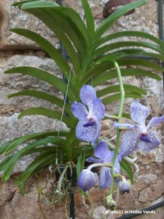 orchidée vanda - cat cme 21