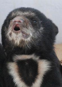 Two sloth bear cubs rescued in Orissa. 3 Bears, Bear Cubs, Sloth Bear, Baby Animals, Panda, Creatures, Craft Ideas, Horses, Rock