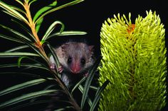 """Little Pygmy Possum © Ted Mead """"There are 24 species of native land mammals found in the Tarkine, including: platypus, echidna, six marsupial carnivores, the common wombat, two species of bandicoot, five possums and gliders, three macropods, four species of rat and mice and one bat species. #Tasmania #Australia Via: The National Tarkine Coalition http://tarkine.org 