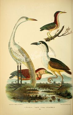 Green Heron, Night Heron, Great White Heron      ...