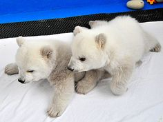 Twice as Nice! Polar Bear Twins Make Debut