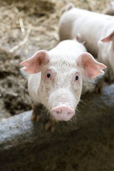 Piglet at the Mar-Kot facility in Miączyn, Poland, part of a Heifer project.