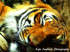 A beautiful tiger at Naples Zoo taken by a Canon PowerShot SX510 HS.