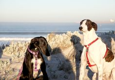 Two #stunning #greyhounds #blouberg #beach #capetown