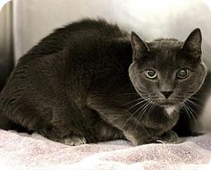 Westampton, NJ - Domestic Shorthair. Meet Rocky 34459786, a cat for adoption. http://www.adoptapet.com/pet/17451212-westampton-new-jersey-cat