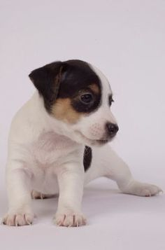 Cane Jack Russel Terrier...pretty much looks just like my Anabel