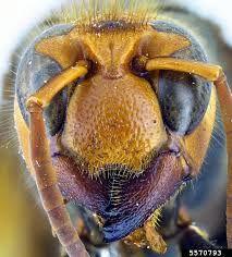 biggest hornet in the world – Szukaj wGoogle Hornet, Mood, Google