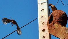 Foto joão-de-barro (Furnarius rufus) por Daniel Krapp | Wiki Aves - A Enciclopédia das Aves do Brasil