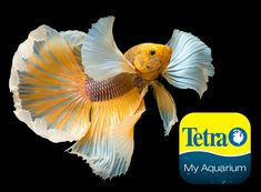 Originally from Southeast Asia, for short periods can breathe air using their labyrinth organ. The ancestors of all Betta fish, Plakat Bettas have shorter tails with round or spade shapes. These strong, aggressive Betta fish are less prone to injury and disease.  Freshwater Top Feeder Skill Level: Great beginner fish Daily Diet: BettaMin® Flake Medley Supplement: Tetra® Betta Floating Mini Pellets Treats: TetraBetta™ Worm Shaped Bites   For more information on fish types visit… Colorful Fish, Tropical Fish, Tetra Fish, Aquarium Set, Aquarium Maintenance, All Fish, Cichlids, Freshwater Fish, Betta