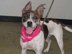 Libra is an adoptable Pit Bull Terrier searching for a forever family near Mansfield, OH. Use Petfinder to find adoptable pets in your area.
