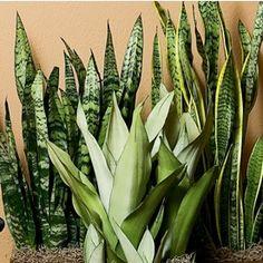 Sansevieria In Plastic Pot Gal. Sanseveria Sansevieria In Plastic Pot Home Garden Plants, Garden Pests, Herb Garden, Vegetable Garden, Succulent Care, Plastic Pots, Snake Plant, Plantar, Indoor Plants