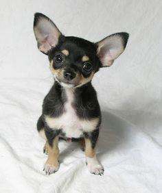 """i think this is my """"grand-puppy"""" when he was a baby!"""