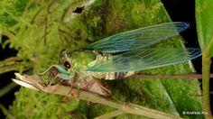 https://flic.kr/p/VXqV5X   Newly emerged cicada, Carineta sp.   from Ecuador: www.flickr.com/andreaskay/albums