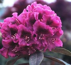 Rhododendron 'Jonathan Shaw' 1 flower