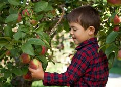 Where to Find Pick-Your-Own Apple Orchards: Nothing says fall like a family outing to a local orchard. Make it a family tradition of picking, baking, cooking and snacking! | LocalParent