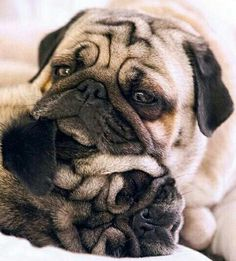 """️""""These are our #Monday faces."""" ・・・ www.jointhepugs.com/ ・・・ #pug #pugpower #pugsnotdrugs #puglife #puglove #cuteness #pugs #puglover #dogs #animals #pugnation #pugoftheday #mops"""