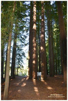 Ngotahaha, Rotorua - January summer 2014 - Red Wood Forest ...