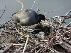 Esta aí tratou de fazer seu ninho justo na marina de Langenargen.