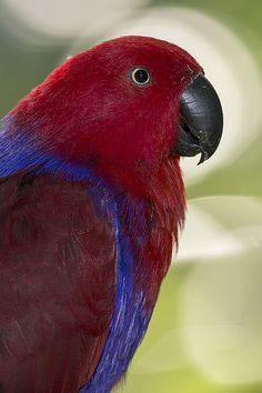 Grand eclectus parrot (female)