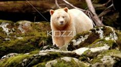 video of a spirt bear eating food - Video of a white bear eating food in between of wooden logs.