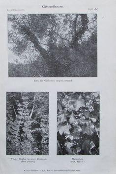 KLETTERPFLANZEN 1916 Botanik Alter Druck Antik Antique Print Litho Pflanzen