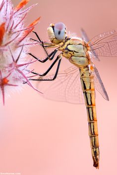 I like how it's a peachy pink usually when you see dragon fly photography it's blues and greens