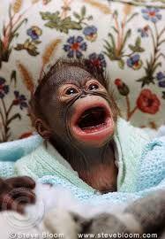 Image result for monkey world gordon