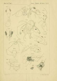 Le formiche dell'ambra Siciliana nel Museo Mineralogico dell'Università di Bologna, Prof. Carlo Emery, 1891.