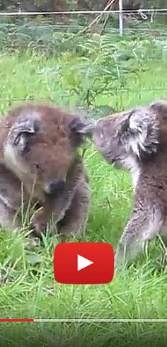 Deux koalas en chicane de ménage. http://rienquedugratuit.ca/videos/deux-koalas-en-chicane-de-menage/