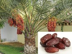 palm dates on Pinterest | Palms, Dates and Palm Trees
