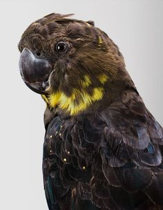 Glossy Black Cockatoo is a dusty brown colour but in sunlight this can have a glossy sheen to it. The females like Akalla have distinctive yellow patches of feathers on their heads that set them apart from the males.