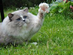Darlin'Lil Dolls - Ragdoll cat