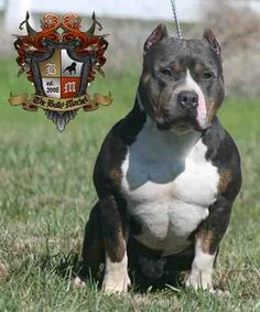 american bullies...in love with this breed #exotic bully #pitbulldog #american…